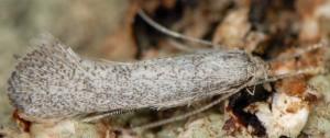 Dactylotula altithermella 2