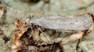 Dactylotula altithermella 3