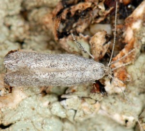 Dactylotula altithermella 5