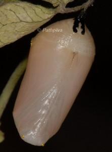 Danaus chrysippus p 1