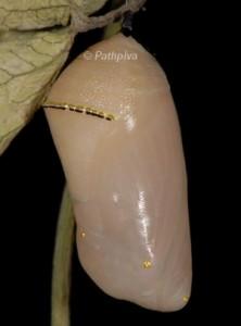 Danaus chrysippus p 2