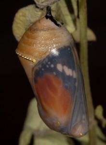 Danaus chrysippus p 3