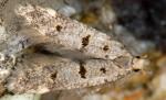 Deltophora stictella (I)