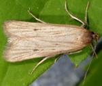 Deroxena venosulella (I, G)