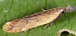 Dichomeris acuminatus (I, G)
