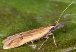 Dichomeris acuminatus 3
