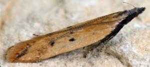 Dichomeris acuminatus 6