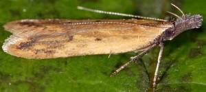 Dichomeris acuminatus 7