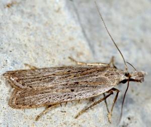Dichomeris limbipunctellus 3