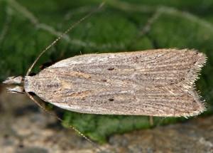 Dichomeris limbipunctellus 4