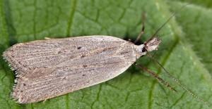 Dichomeris limbipunctellus 7