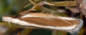 Dichomeris marginella 1