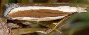 Dichomeris marginella 2