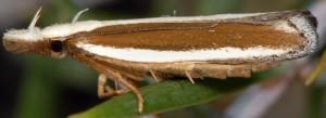 Dichomeris marginella 4