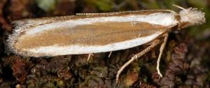 Dichomeris marginella 5