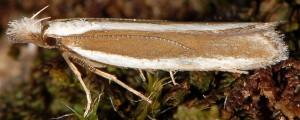 Dichomeris marginella 6