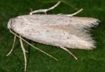 Dysspastus fallax (I)