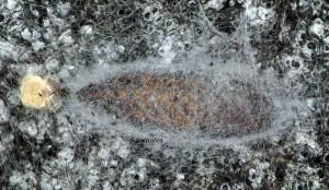 Enolmis acanthella c 2