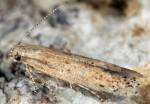 Ephysteris promptella (I)