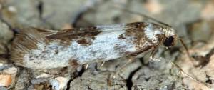 Episcythris triangulella 2