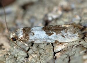 Episcythris triangulella 3