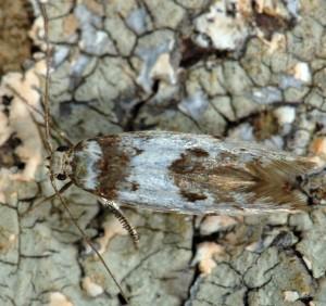 Episcythris triangulella 4