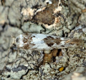 Episcythris triangulella 5