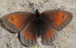 Erebia aethiopellus (I)