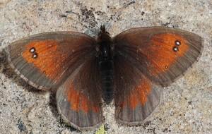 Erebia aethiopellus