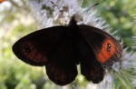 Erebia montanus (I)