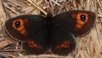 Erebia rondoui (I)