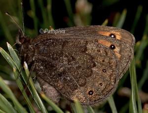 Erebia triarius