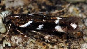 Eteobalea albiapicella 2