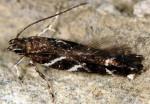 Eteobalea alypella (I, L5, P)