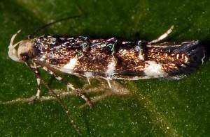 Eteobalea sumptuosella 3