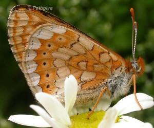 Euphydryas aurinia 4