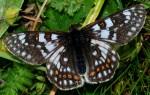 Euphydryas cynthia (I)