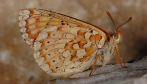 Euphydryas desfontainii 2