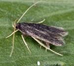 Eurodachtha canigella (I, G)