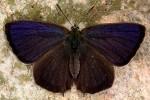 Favonius quercus (I, L3, L4, L5, P)