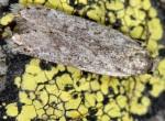Gelechia asinella (I, G)