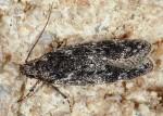 Gelechia nigra (I)