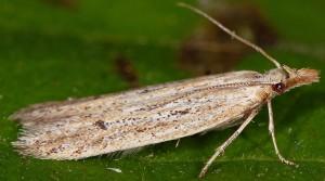 Holcopogon bubulcellus 1