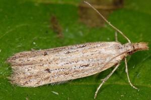 Holcopogon bubulcellus 2
