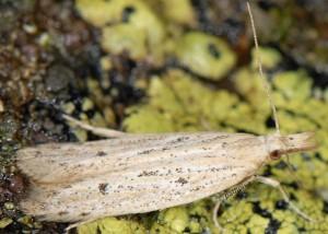 Holcopogon bubulcellus 3