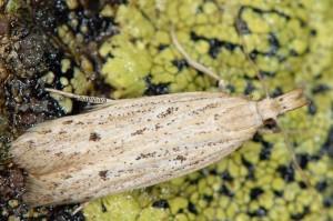 Holcopogon bubulcellus 4