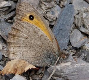 Hyponephele lycaon 1