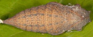 Iphiclides podalirius p 3