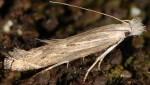 Isophrictis anthemidella (I)