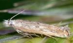 Isophrictis robinella (I)